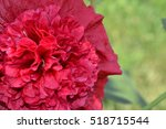 Small photo of Mallow. Malva. Alcea. Large flowers. The flower similar to a rose. Red, burgundy. Close-up. Sun rays. Garden. Flowerbed. Horizontal photo