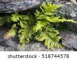 Polypodium Vulgare  Common...