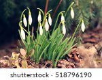 flowers of snowdrop   galanthus ... | Shutterstock . vector #518796190