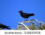 torresian crow  corvus orru  in ... | Shutterstock . vector #518820928