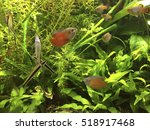 Docile Red Flame Dwarf Gourami...