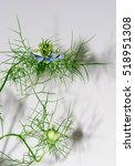 Small photo of Love-in-a-mist Shadows