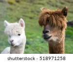 Alpaca Brown And  White...