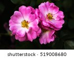 close up of pastel rose flowers ... | Shutterstock . vector #519008680