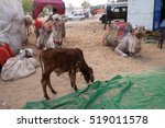 pushkar  india   february 17 ... | Shutterstock . vector #519011578