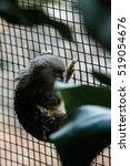 pygmy marmoset | Shutterstock . vector #519054676