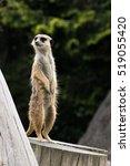 meerkat | Shutterstock . vector #519055420