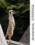 meerkat | Shutterstock . vector #519055426