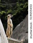 meerkat | Shutterstock . vector #519055453