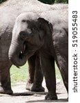 elephant | Shutterstock . vector #519055483