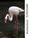 flamingo | Shutterstock . vector #519055489