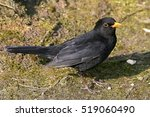 Male European Blackbird  Turdu...