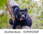 Indri  The Largest Lemur Of...