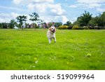 Labrador Plays With A Ball  He...
