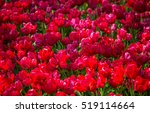 Field With Red Tulips In The...