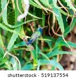 Broad Billed Hummingbird. Usin...