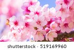 pink blossoms on the branch...   Shutterstock . vector #519169960