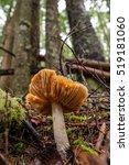 A Mushroom Grows In An Douglas...