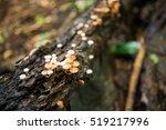 mushrooms on tree  forest...   Shutterstock . vector #519217996