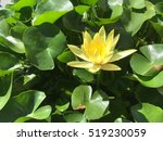 Yellow Lotus Blooming On Tub Of ...
