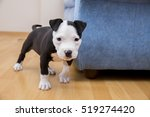 Stock photo male baby boston terrier on white horizontal 519274420