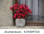 Red Begonia In Bloom In The...