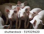 Piglets Indoors On A Pig Farm...