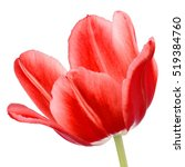 Red Tulip Flower Head Isolated...