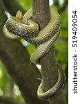 Small photo of Aesculapian snake (Zamenis longissimus) knotted on a branch of a tree in ints natural woody habitat. portrait from below. Liguria. Italy.