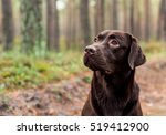 Chocolate Labrador Sitting In...