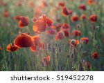 Red Poppies In The Lispring...