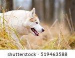 Siberian Huskies In Park  Autumn