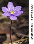 Anemone Hepatica  Common...