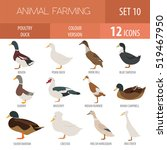 poultry farm. duck breeds... | Shutterstock .eps vector #519467950