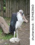 Small photo of Large Lessor adjutant stork standing on the Stump in Cape town, South Africa