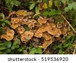 Clump Of Honey Fungus ...