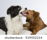 Small photo of Two dogs playing aggressively. They both are showing their teeth. The dog breeds are border collie and nova scotia duck tolling retriever also known as the toller.