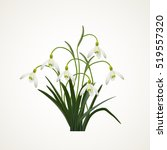 snowdrops on a white ... | Shutterstock .eps vector #519557320