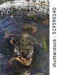 European Common Frog  European...