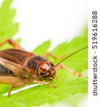Small photo of Field Cricket (Gryllus) isolated on white background, macro photo.