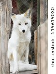White Arctic Fox Animal...
