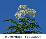 Small photo of White Flower, American Elder Flower with Blue Sky Background