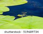 edible frog in water | Shutterstock . vector #519689734