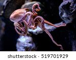 octopus underwater close up... | Shutterstock . vector #519701929