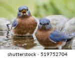 Male Eastern Bluebirds In...