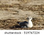 Laughing Gull Resting On The...