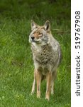 Small photo of Coyote alpha male in spring
