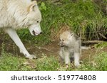 Female Arctic Wolf With One...