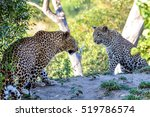 Two Leopards Facing