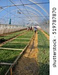 "Small photo of Chortkiv - Ternopil - Ukraine - April 17, 2013. Hothouse for growing seedlings of vegetables in agribusiness ""Berezina"". Workers watered seedlings of cabbage early hour."